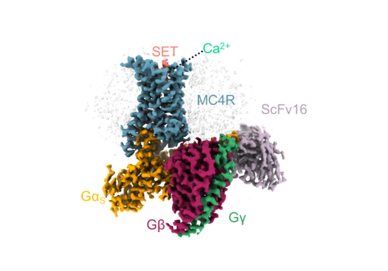 Structure 3D d'un complexe formé par le MC4-R (bleu) et plusieurs protéines qu'il active, avec une molécule de setmelanotide (rose) et un ion calcium (vert), dans la poche de liaison du MC4-R