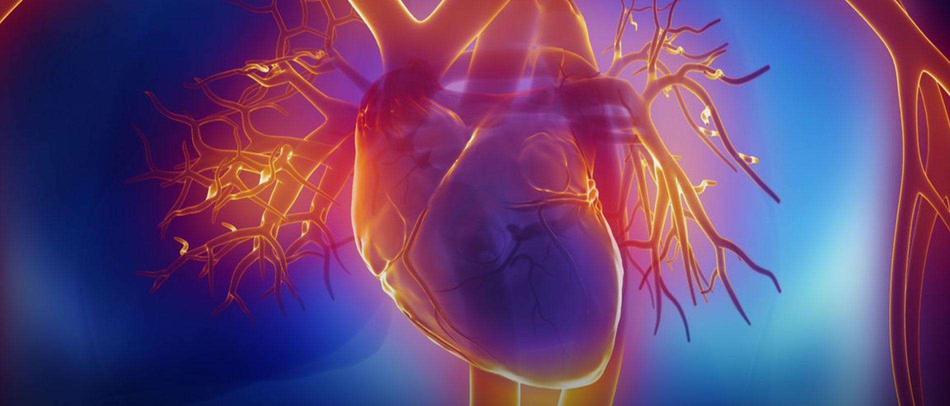 Une protéine pour réparer le cœur